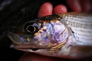 River Goyt Grayling